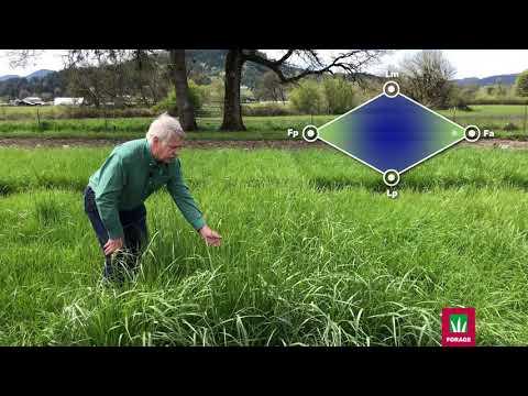 Hipast Festulolium Forage Grass Seeds